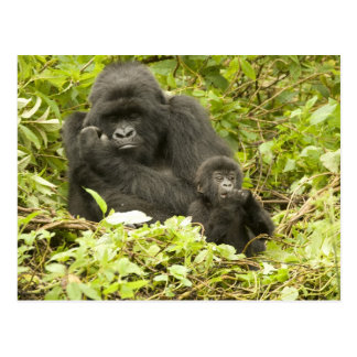 Mountain Gorilla, Gorilla beringei (formerly G. Postcard