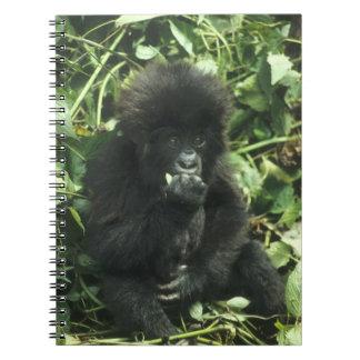 Mountain Gorilla, (Gorilla gorilla beringei), Notebooks