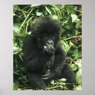 Mountain Gorilla, (Gorilla gorilla beringei), Poster