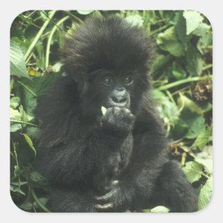 Mountain Gorilla, (Gorilla gorilla beringei), Square Sticker