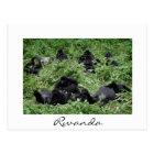 Mountain gorilla group white border postcard