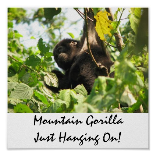 Mountain Gorilla Just Hanging On! Poster
