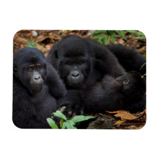 Mountain Gorillas, Volcanoes National Park Vinyl Magnet