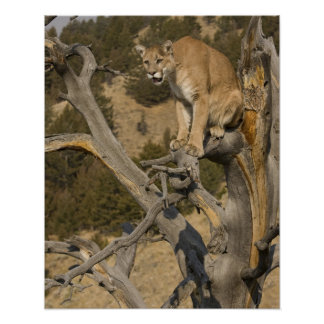 Mountain Lion, aka puma, cougar; Puma concolor, 2 Poster