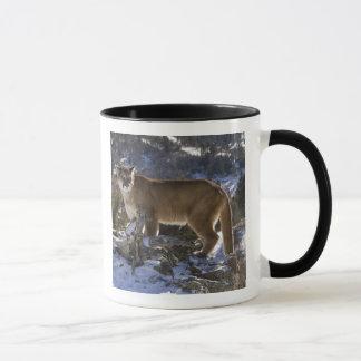 Mountain Lion, aka puma, cougar; Puma concolor, Mug