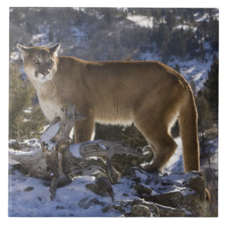 Mountain Lion, aka puma, cougar; Puma concolor, Tile