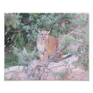 Mountain Lion Art Photo