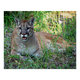 Mountain Lion Complaining Poster