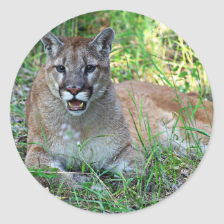 Mountain Lion Complaining Round Sticker