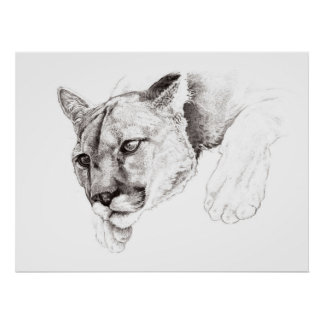 Mountain Lion Drawing Poster
