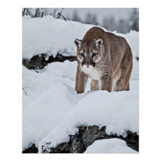 Mountain Lion on the Hunt Poster