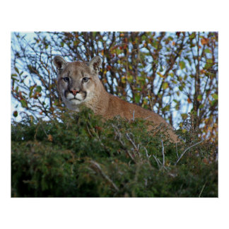 Mountain Lion on the Lookout Poster