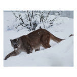 Mountain Lion on the Prowl Poster