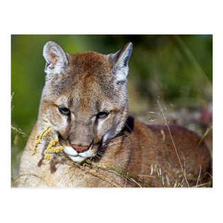 Mountain Lion Playing with the Flowers Postcard