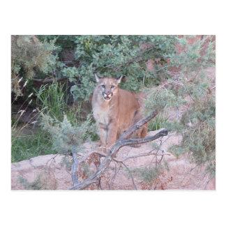 Mountain Lion Post Card