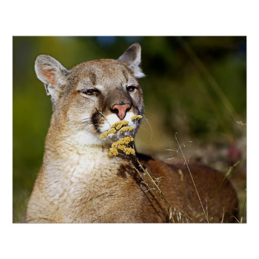 Mountain Lion - Smelling the Flowers Poster