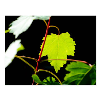 Mountain Maple Postcard