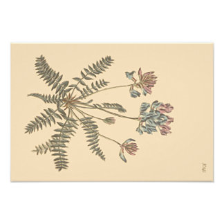 Mountain Milkvetch Botanical Illustration Photograph