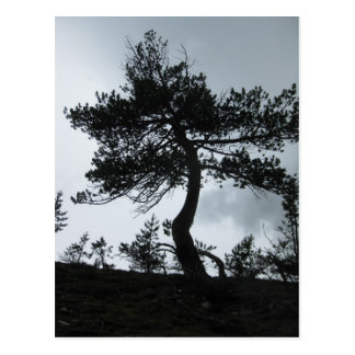 Mountain pine postcard