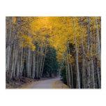 Mountain Road Framed by Golden Aspens Postcard
