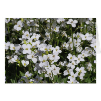 Mountain Rock Cress (Arabis alpina) card