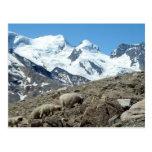 Mountain Sheep in Swiss Alps -- Postcard