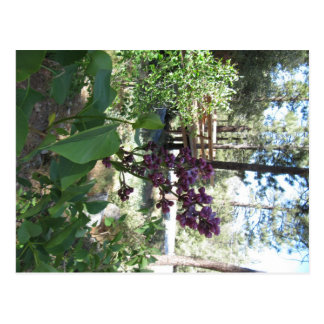 Mountain Spring Purple Lilacs Postcard