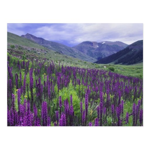 Mountains and wildflowers in alpine meadow, 2 post cards
