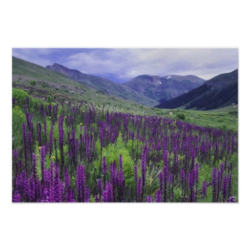 Mountains and wildflowers in alpine meadow, 2 print