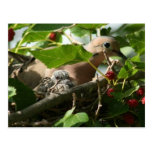 Mourning Dove and Baby Nesting in Mulberry Tree Postcard