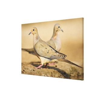 Mourning Dove (Zenaida macroura) adults on Canvas Print