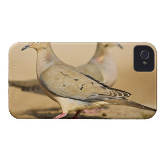 Mourning Dove (Zenaida macroura) adults on Case-Mate iPhone 4 Case