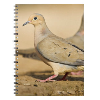 Mourning Dove (Zenaida macroura) adults on Notebooks
