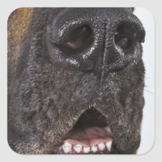 Mouth of Great Dane, close-up Square Sticker