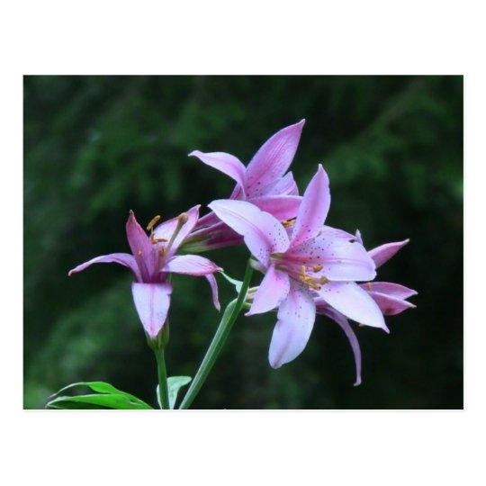 Mt Jefferson Oregon Flora Flower Botany Wildflower Postcard