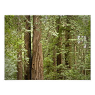 Muir Woods National Monument, Northern Photo Print