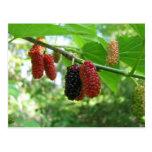 Mulberry Tree Postcard