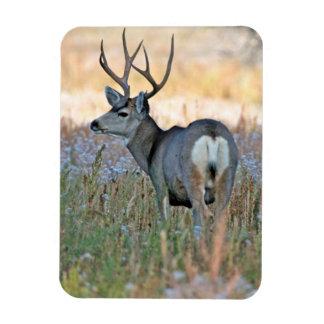 Mule deer buck (Odocoileus hemionus) Magnet