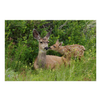 Mule Deer Doe with Fawn 2 Poster