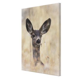 Mule Deer Fawn Canvas Print