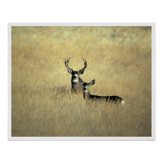 Mule Deer in California Art Print Poster