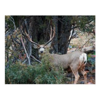 Mule deer spur buck postcard