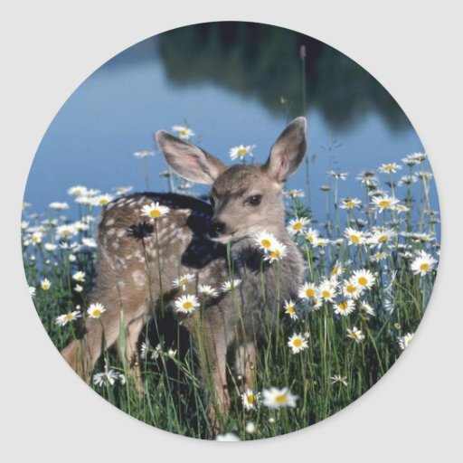 Mule Deer-young fawn in field of wite daisies by r Round Sticker