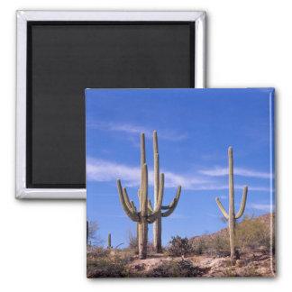 Multi armed Giant Saguaro cactus, Saguaro Magnet