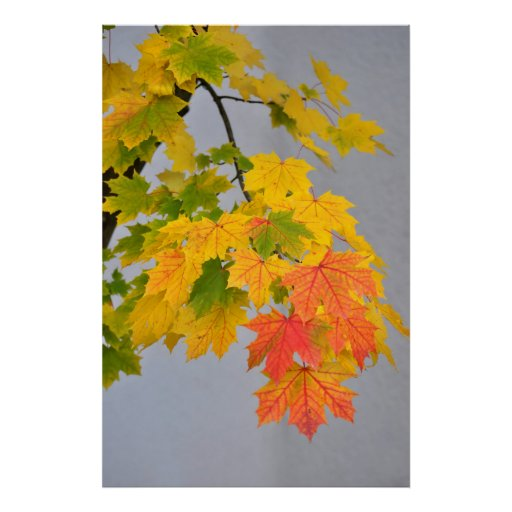 multicolored branch of maple with beautiful sheets poster