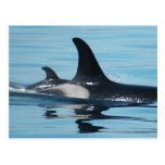 Mum and Baby Orca Postcards