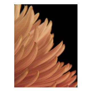 Mum Chrysanthemum Pink Flower Postcard