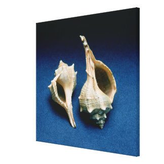 Murex shell canvas print