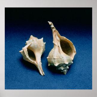 Murex shell poster
