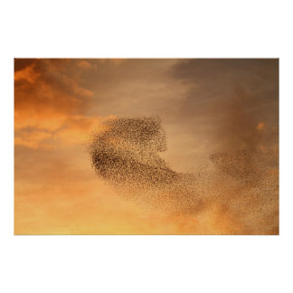 Murmuration of Starlings Print